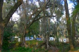 A veiw of Riverside RV Park through trees dripping with Spanish Moss.