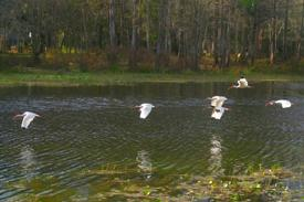 Flock of flying Egrets on the Withlacoochee River in the state park.