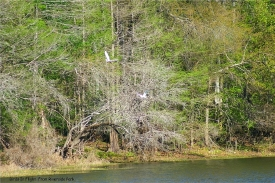 River birds in flight along the Withlacoochee River in the State Park area.